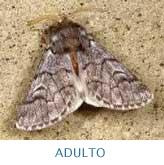 Adulto-Procesionaria del Pino