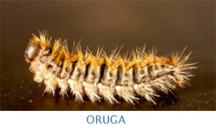 Oruga-Procesionaria del Pino