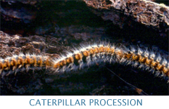 Caterpillar Procession